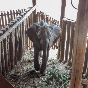 Front view of rescued male baby elephant walking into his stable