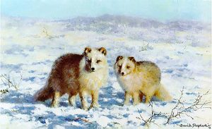 David Shepherd, Limited Edition - Arctic Foxes Print
