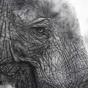 buy graphite pencil drawing of an elephant