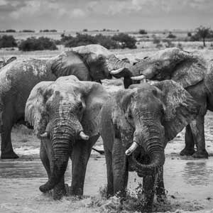 buy black and white photograph of elephants