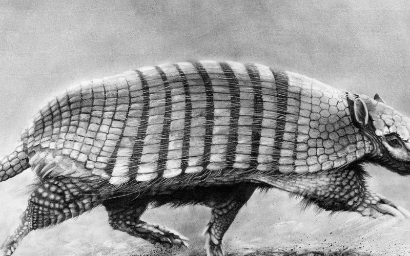 armadillo walking black and white sketch