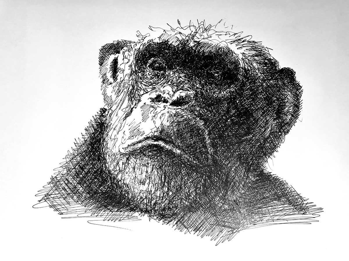 Chimpanzee ink artwork entry in art competition Wildlife Artist of the Year 2020