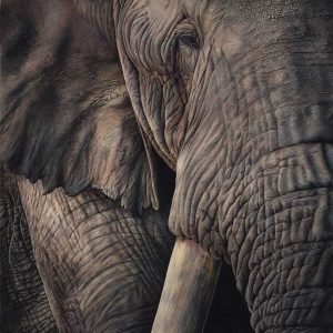 Elephant, coloured pencil entry in Wildlife Artist of the Year 2020