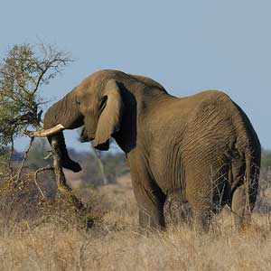 Photograph of an elephant pushing down a tree with its trunk
