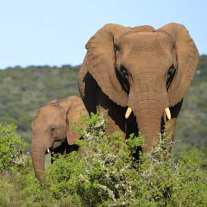 photograph of an elephant with her calf
