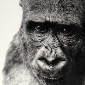 Gorilla charcoal artwork entered Wildlife Artist of the Year 2020