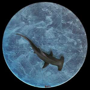 Hammerhead shark in acrylic and resin entry in Wildlife Artist of the Year 2020 art competition