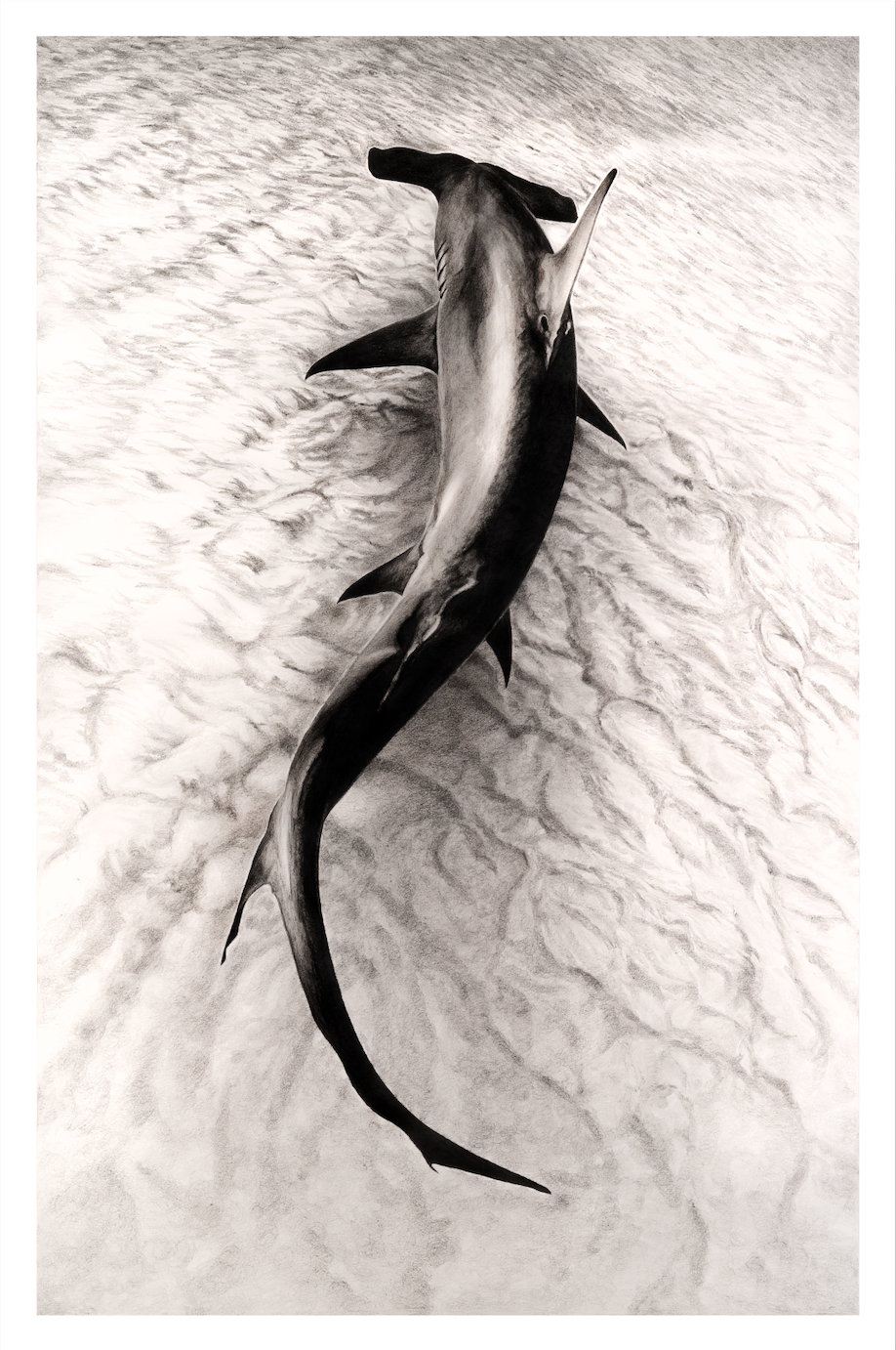 Hammerhead shark in graphite in art competition Wildlife Artist of the Year 2020