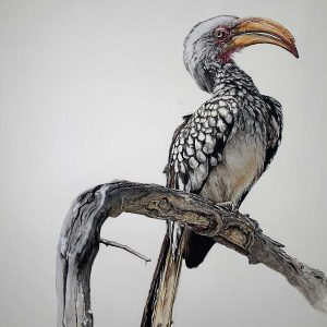 Hornbill pastel artwork entry in Wildlife Artist of the Year 2020