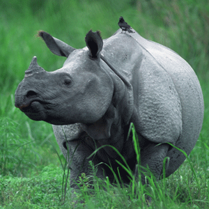photograph of an indian one horned rhino