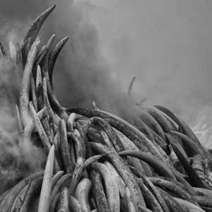 photograph of an ivory burn in africa