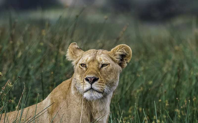 photograph of a lioness in the grass