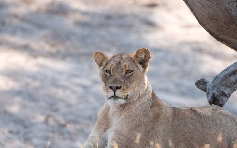photograph of lioness resting