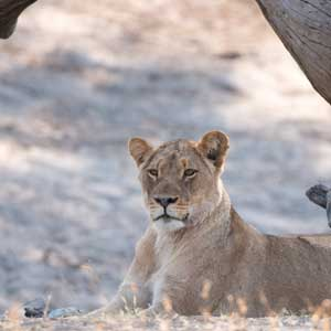 lioness resting in africa