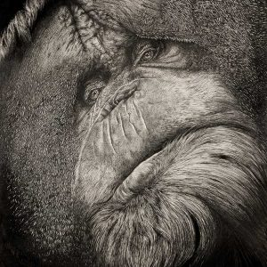 Orangutan pen drawing entry in Wildlife Artist of the Year 2020