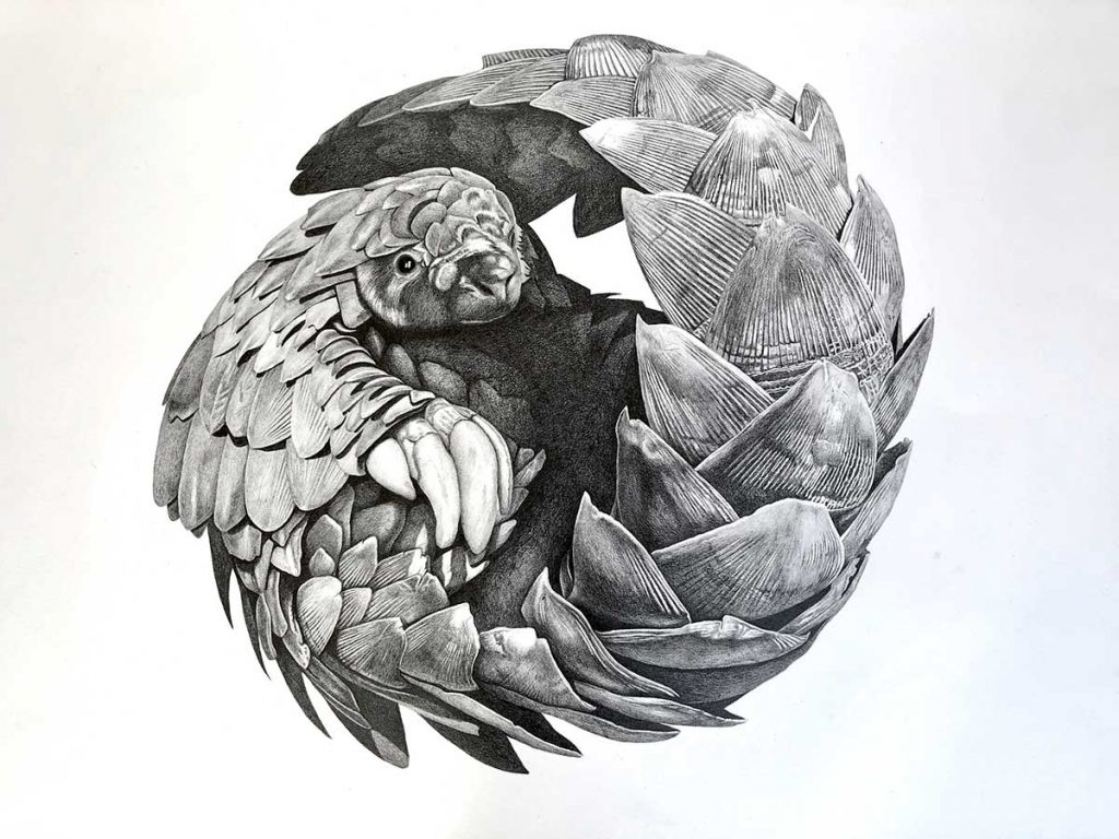 Pangolin pencil artwork entry in Wildlife Artist of the Year 2020