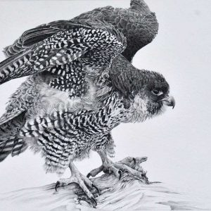 peregrine falcon graphite entry into Wildlife Artist of the Year 2020