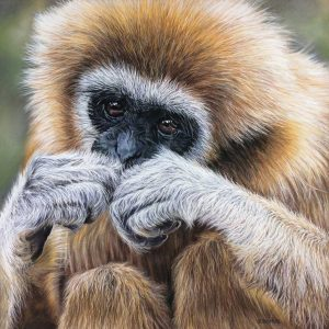 Primate pastels artwork entered Wildlife Artist of the Year 2020