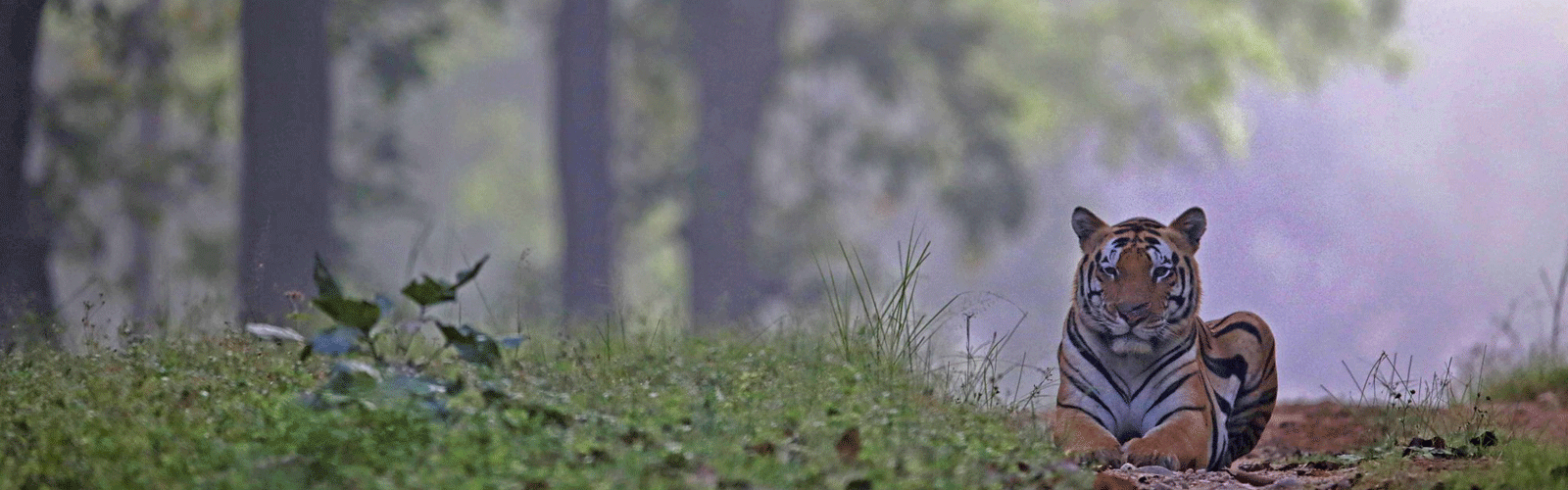 tiger lying in the forest