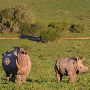 photograph of a rhino and her calf