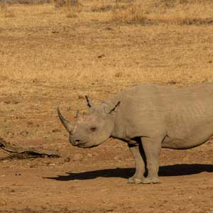 photograph of a rhino by petrus van zyl