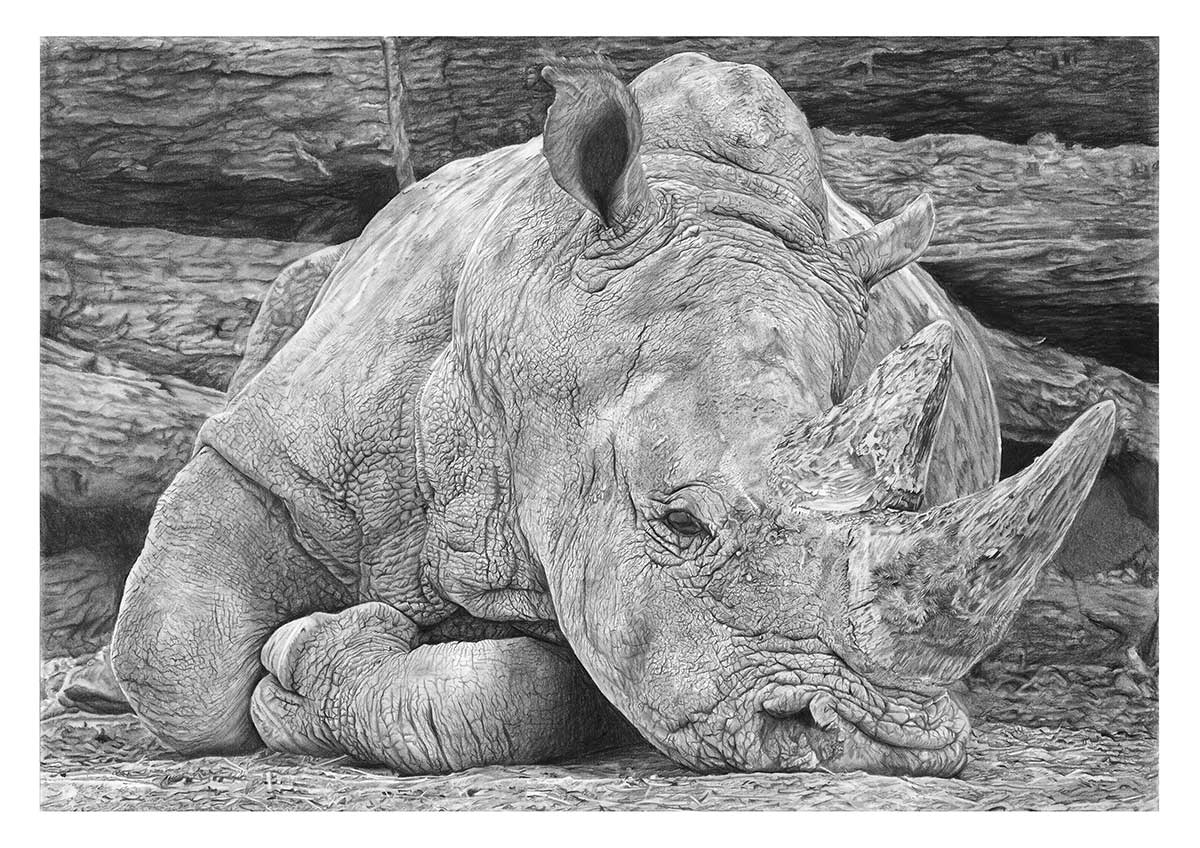 Wildlife Artist of the Year 2020 competition entry - Rhino in Graphite