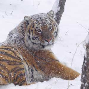 amur tiger in the snow