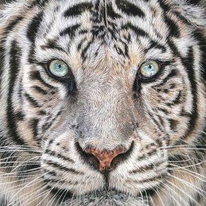 Tiger pastels artwork entered Wildlife Artist of the Year 2020