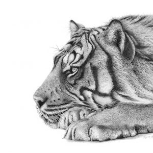 Tiger pencil artwork entrered Wildlife Artist of the Year 2020