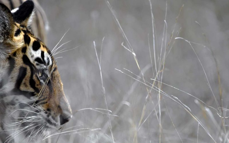 Close up of a tiger's head seen through silvery blades of grass