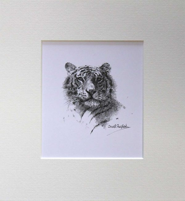 Buy a print of a David Shepherd pencil sketch of a Tiger