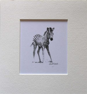 Buy a print of a David Shepherd pencil sketch of a Zebra