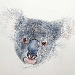 Drawing of a koala's face in pastel pencils by Martin Aveling