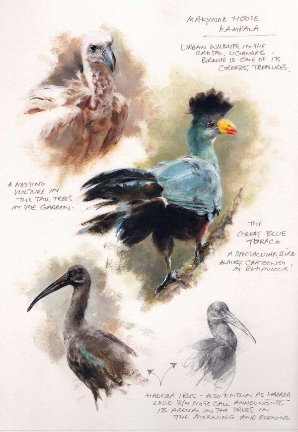 Field sketch of a vulture, blue turaco and ibis by Mandy Shepherd