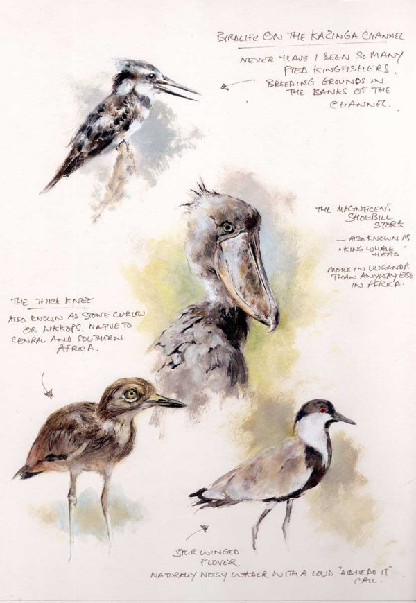 Field sketch of 4 birds in Uganda, kingfisher, shoebill stork, stone curlew and winged plover