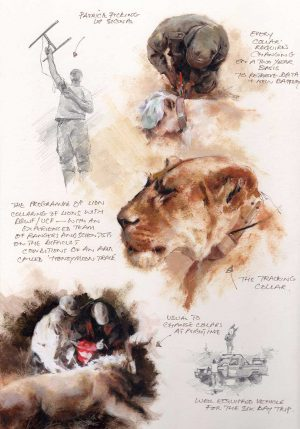 Mandy Shepherd Lion Sketches in graphite plus oil and water based mediums.