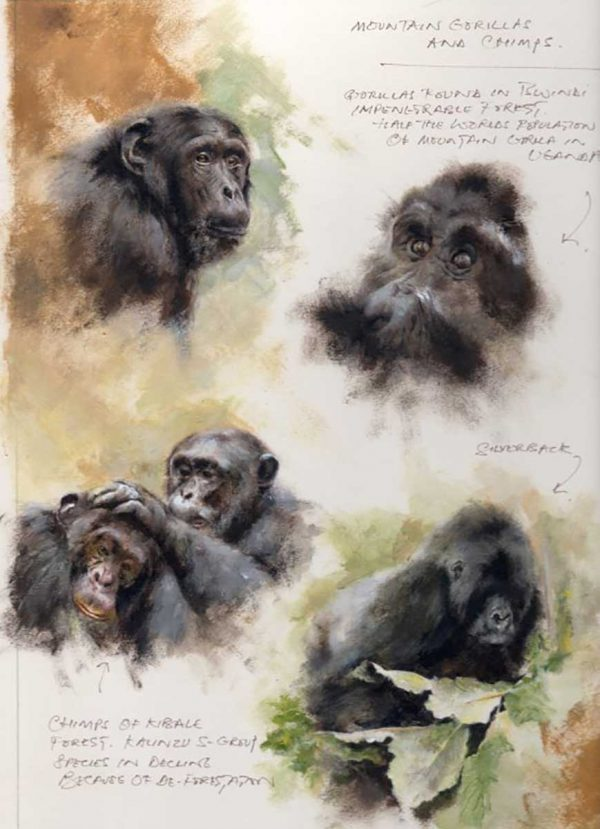 Mandy Shepherd Gorilla and chimp Sketches in graphite plus oil and water based mediums.