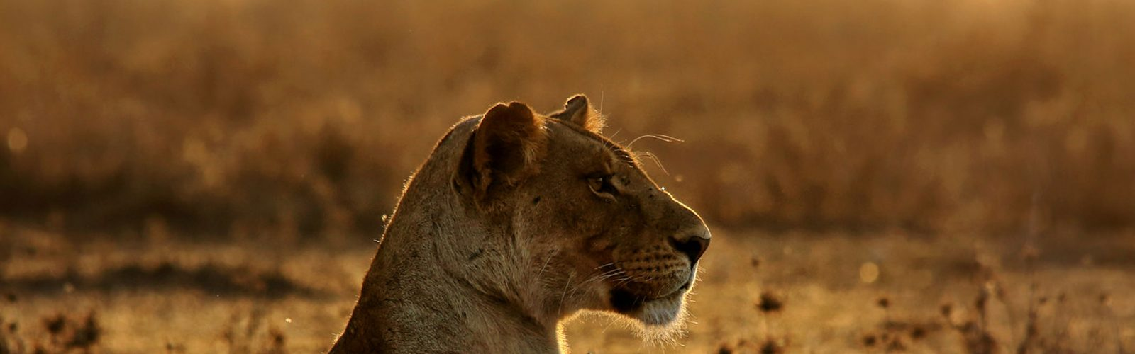 lioness photographed by surya ramachandran