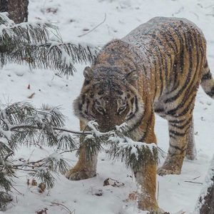 amur tiger adoption