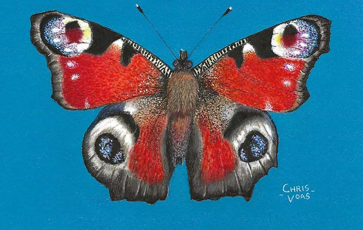 Postcard 27, Peacock Butterfly