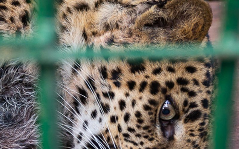 Photograph of a leopard lying down trapped in a cage