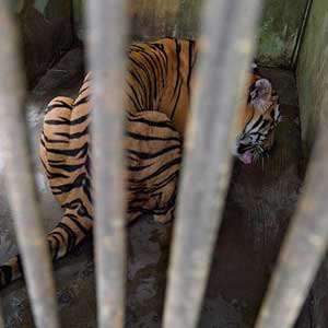 caged tiger photographed by craig jones