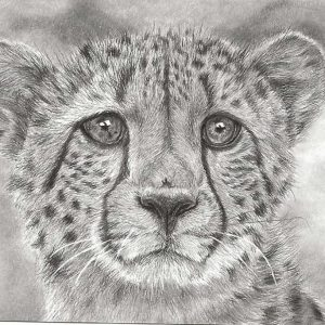 Postcard 41, Cheetah