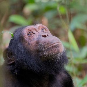 chimpanzee photograph by riccardo maywald
