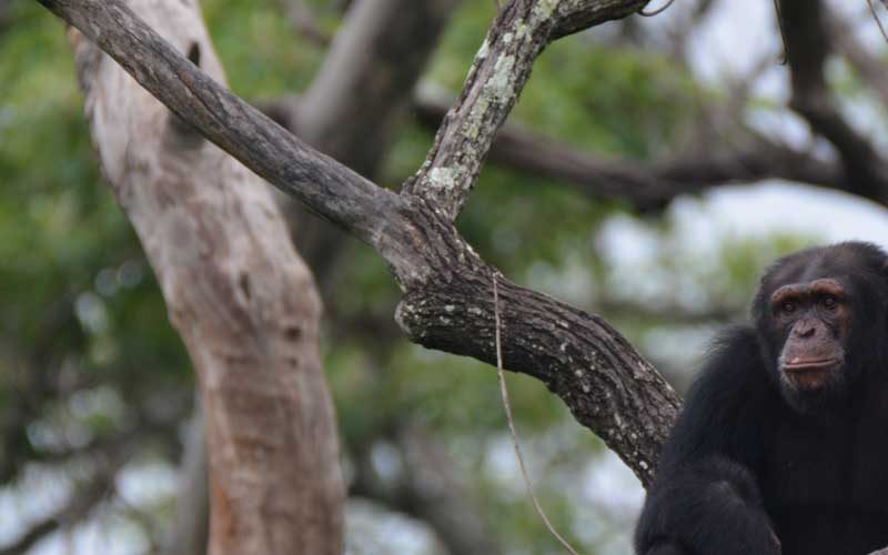 chimpanzee sat in a tree