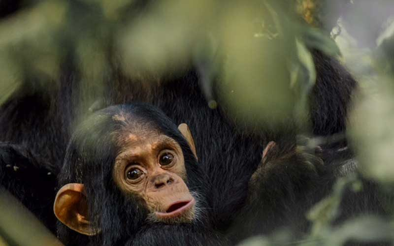 baby chimpanzee in the forest