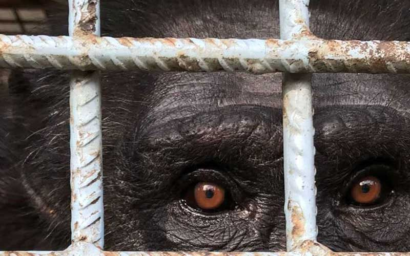 chimpanzee locked in a cage