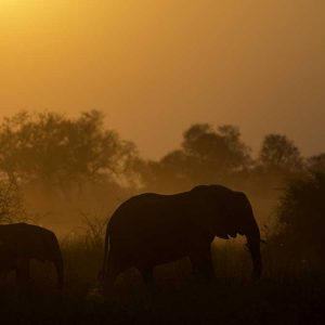 Two elephants at sunset silhoutted against acacia trees