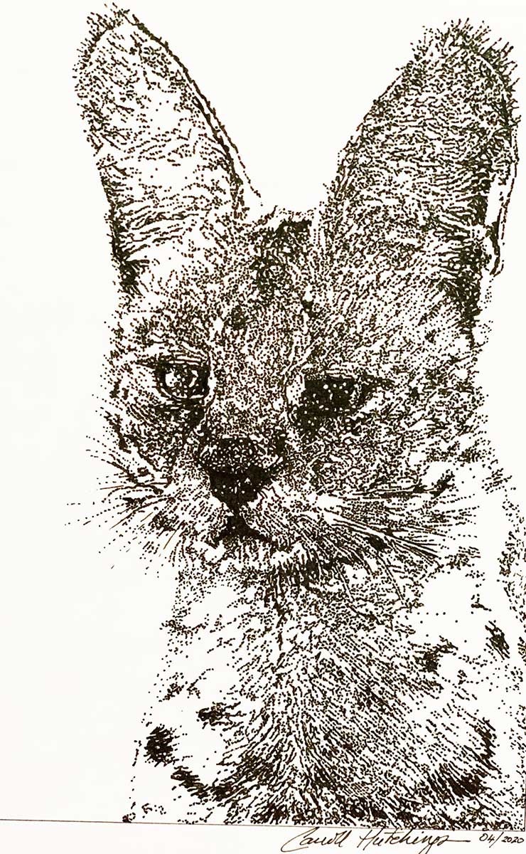 Black and white postcard sized drawing of a wild cat