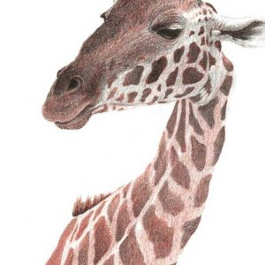 Reddish brown drawing of a giraffe postcard size